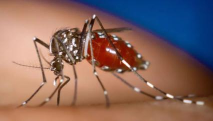 花蚊子为什么咬人厉害1