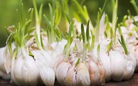 红皮大蒜种植需要注意什么 2
