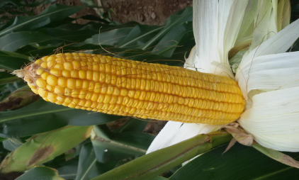 玉米扒了皮放冰箱能放多久1
