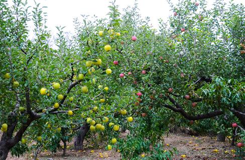 苹果园反光膜啥样的好1