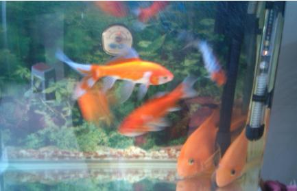 鹦鹉鱼和金鱼会打架吗1