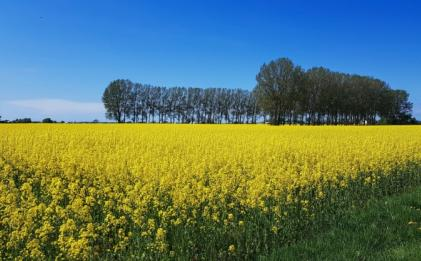 唯美好看的油菜花风景图片