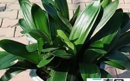 植物补光灯能给君子兰用吗