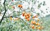 野柿子直接吃吗