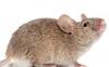 老鼠会咬内裤分泌物吗