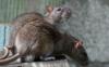 老鼠把空调管子咬烂了会有什么影响