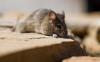空调洞里面有吱吱吱动物声是老鼠吗