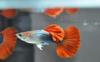 孔雀鱼怎么搭配公母比例