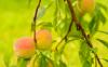 桃子里面是褐色的怎么回事