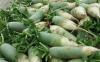 萝卜种植怎么防治糠心