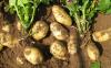 马铃薯拌种原因是什么