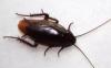 蟑螂会咬人吗