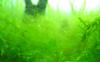 鱼缸里面长的绿毛是什么东西