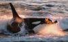 鲸豚搁浅怎么办