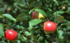 苹果为什么会产生水裂纹
