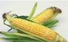 玉米可以套种什么农作物